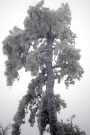 pine-tree-iced